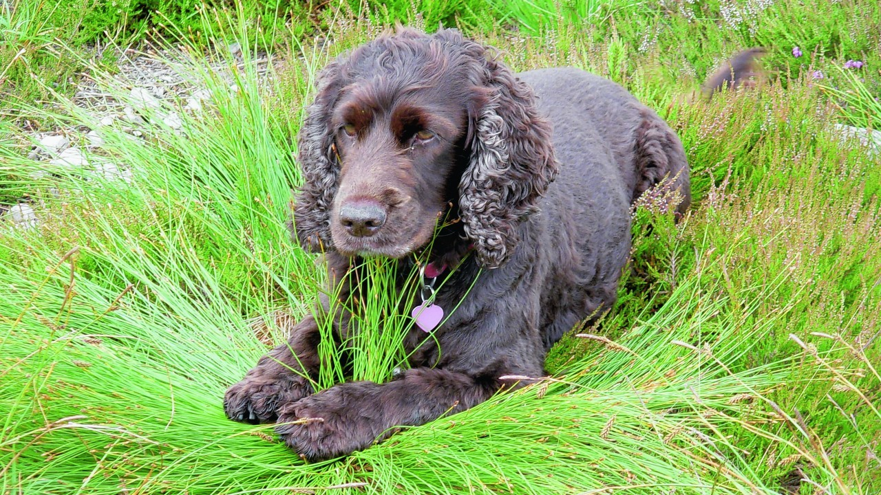 Here is a photo of seven year old cocker spaniel Tania taken recently at the top of Balloch Wood, Keith, who lives with Moira and Bill Minty of Tarves.