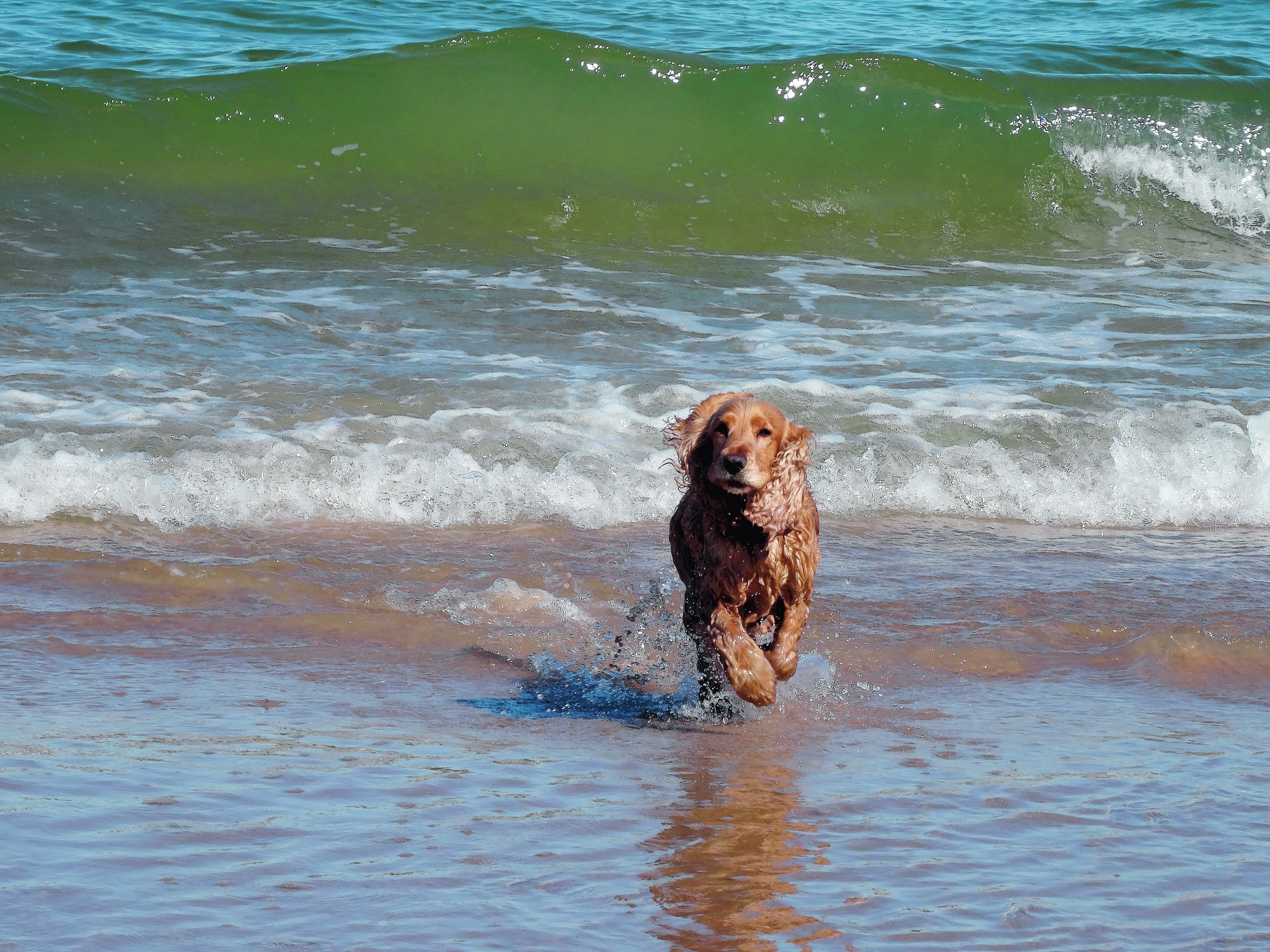 This is Bramble at Lossiemouth beach who lives with Sue Chappell in Nairn.
