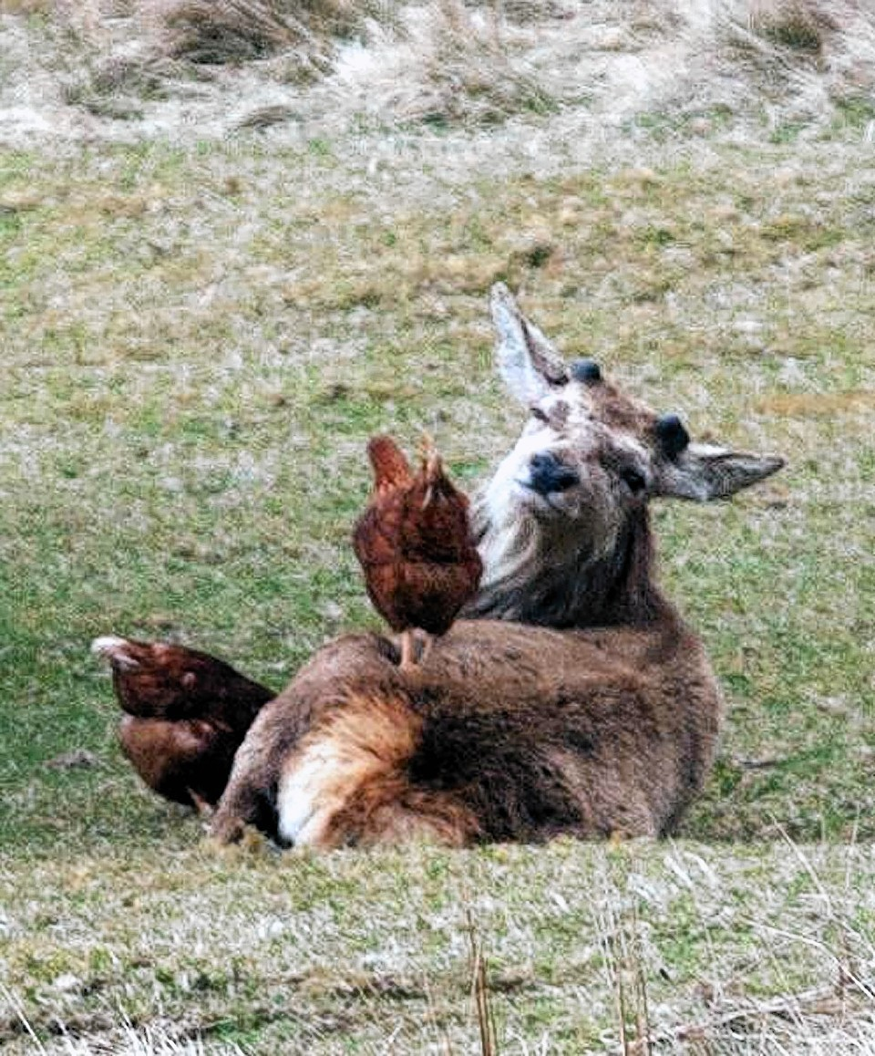 The deer are quite comfortable with the chickens using their backs as a dining table
