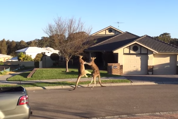 The kangaroos fought in the middle of an Australian street