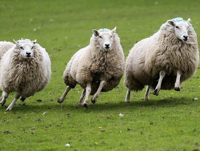 Three sheep were stolen in the Lybster area
