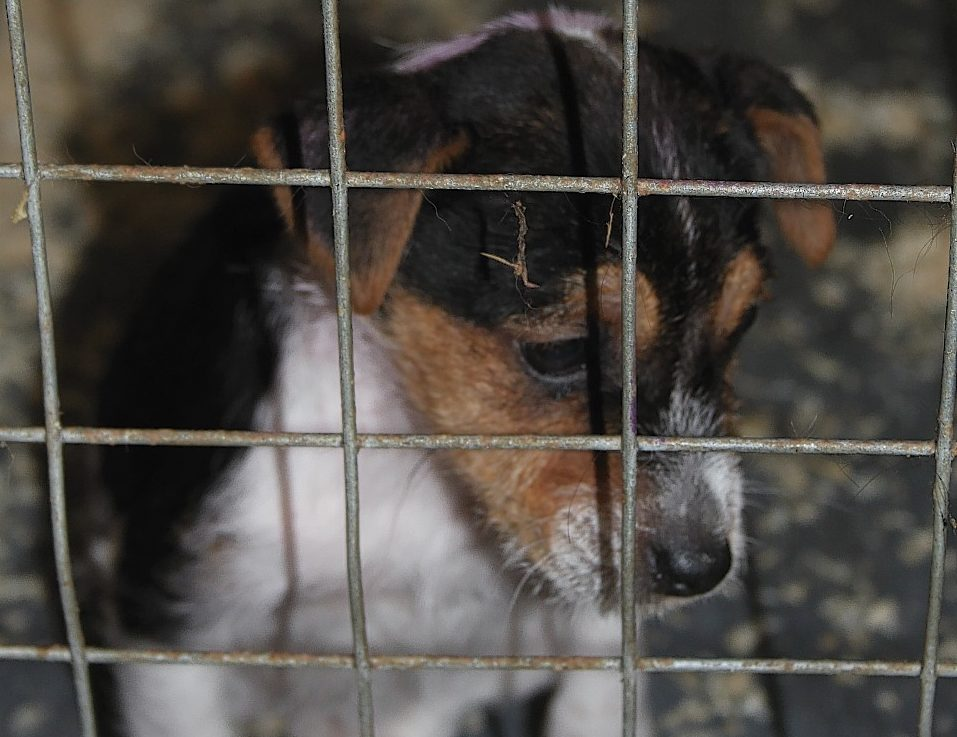 One of the dogs kept in a pen at the illegal farm