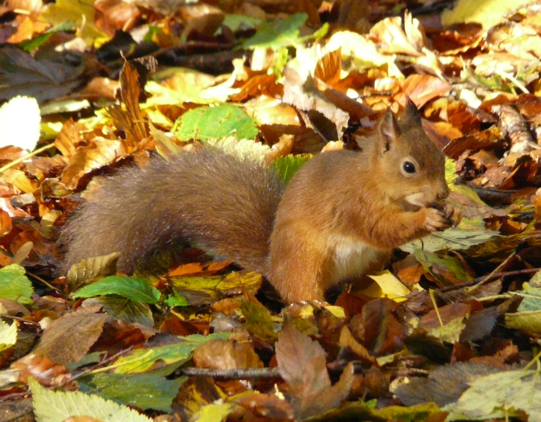 Red squirrels have been spotted every day this week at Haddo House