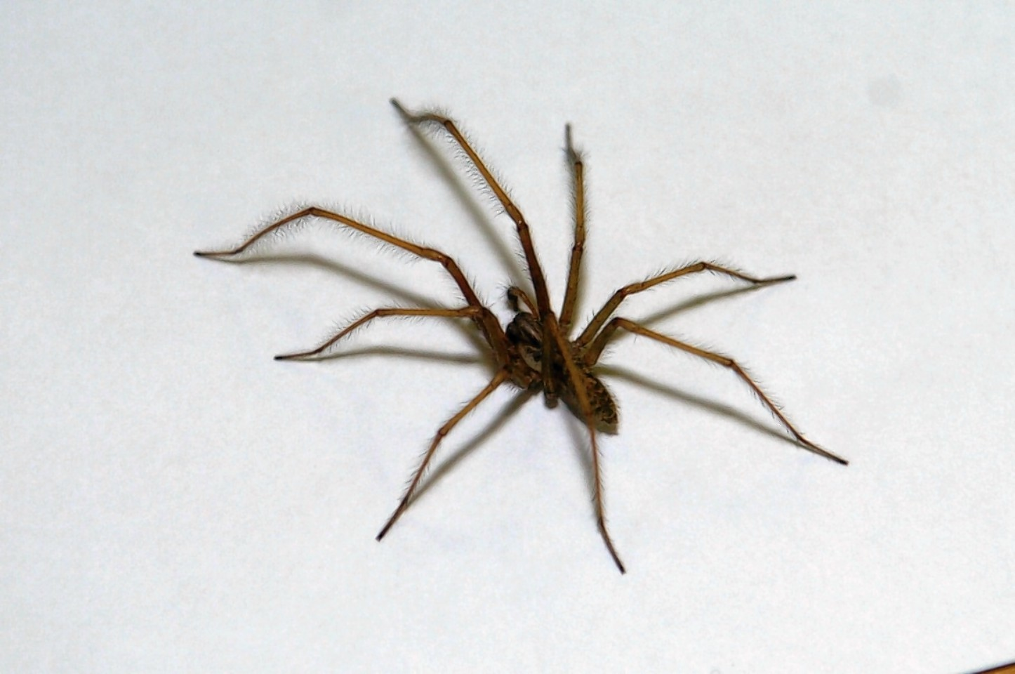Spiders have now entered their mating season