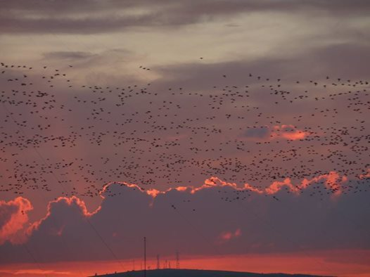 Hundreds of geese fly over the Loch of Strathbeg