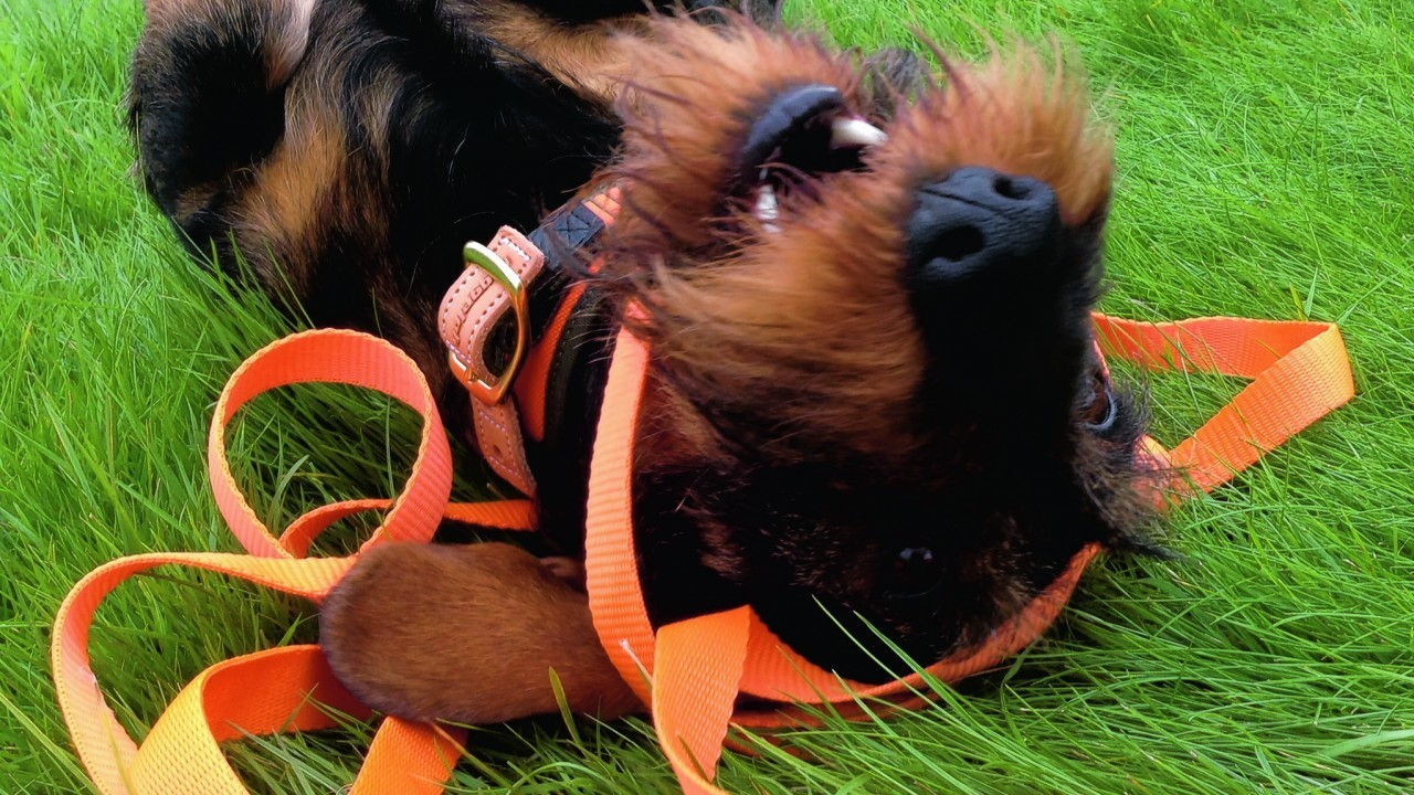 This is Fray, a 2  year old Teckel, (standard working Wirehaired Dachshund) having a play with his new leash. He lives with James Cooper in Bourtie, Inverurie.