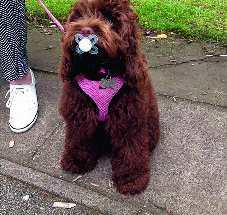 Here is six-month-old American cockapoo, Lexi, after finding a dummy at Hazlehead Park. She lives in Aberdeen with the McInnes family.