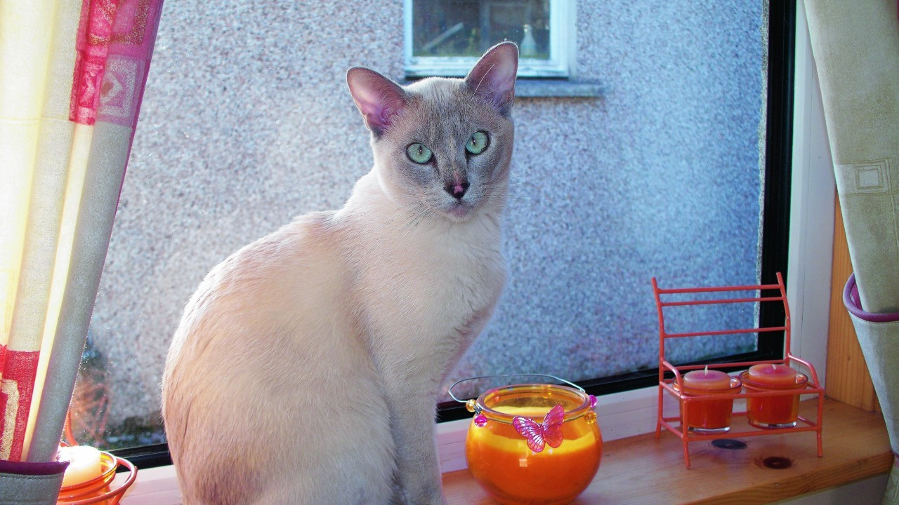 This is Lucy. She's a lilac point Tonkinese cat who lives with the Murray family in Newmarket, Isle of Lewis and is our winner this week.