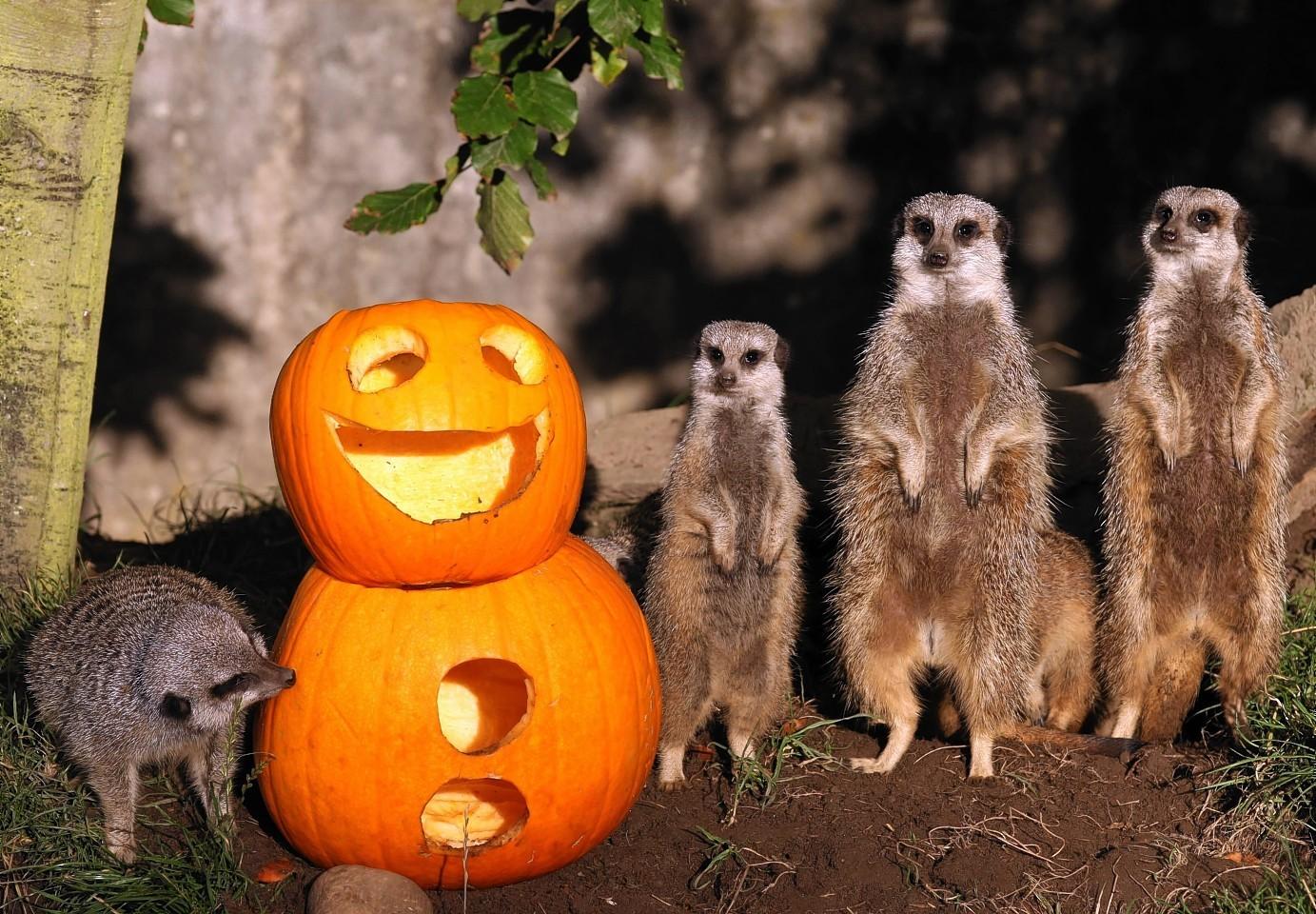 Meerkats and their pumpkins