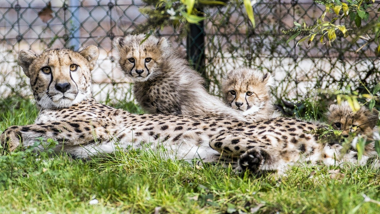 An eleven-week old Cheetah sits next to its mother Alima in the Zoo of Basel, Switzerland, Wednesday, Oct. 8, 2014