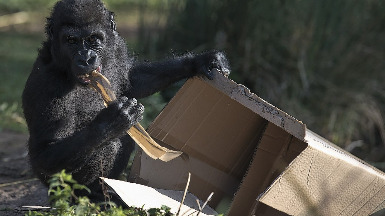 Nomaki is preparing to leave Bristol Zoo for Belfast Zoo as she is related to the male gorillas at Bristol