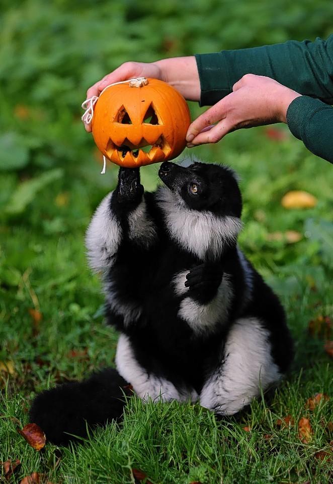 lemur-pumpkin-4.jpg