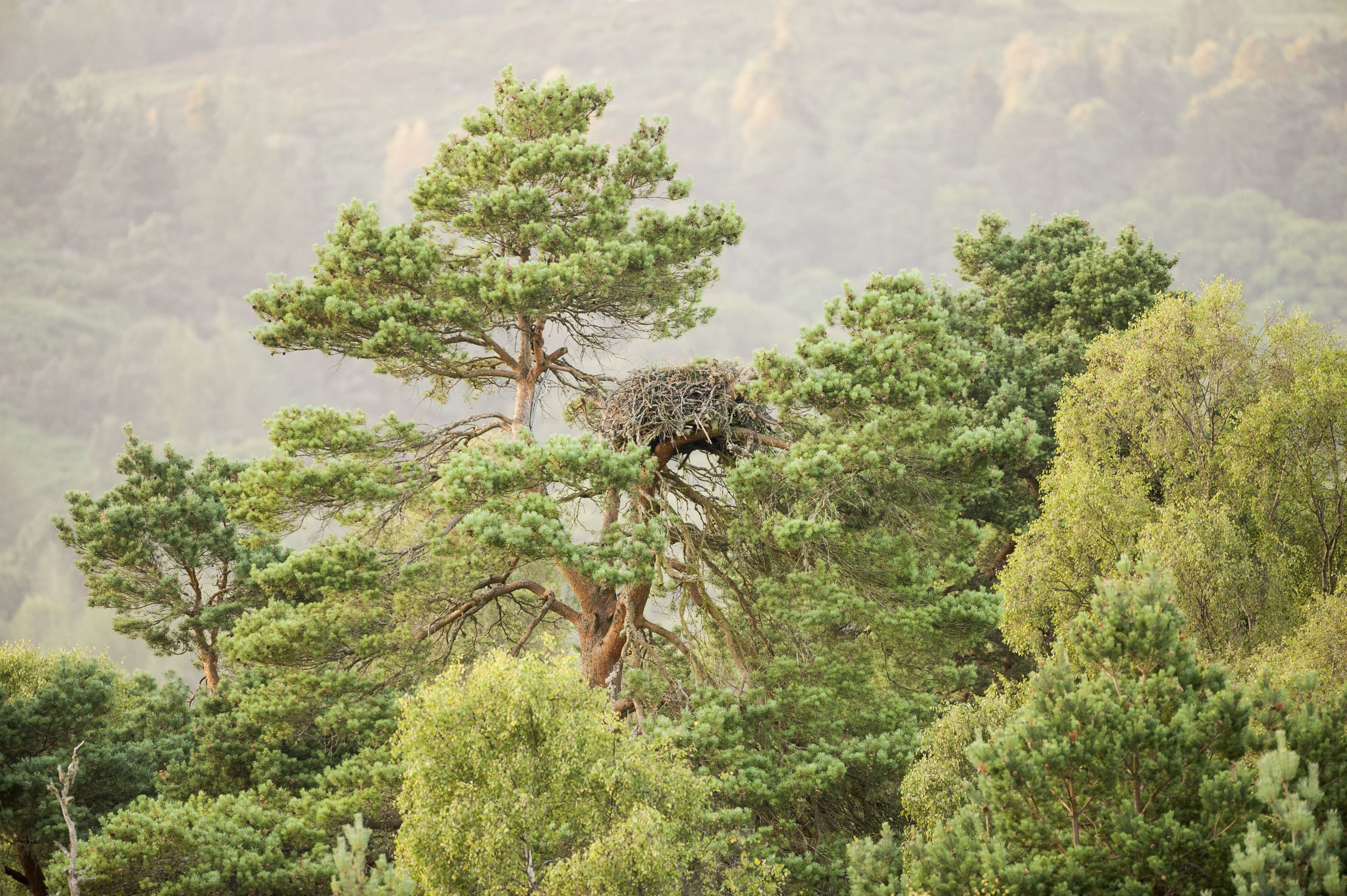 Lady's Tree has been home to a female osprey for nearly 30 years