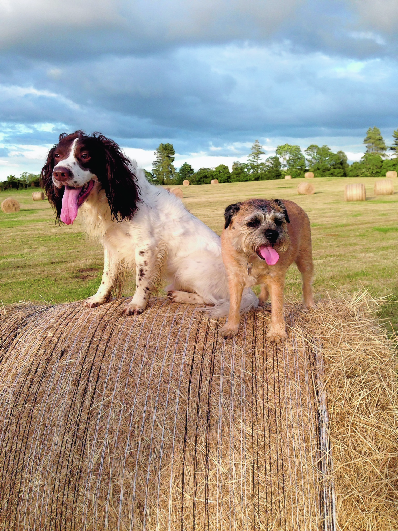 Bella the border terrier and her friend Bracken enjoying life at Burgie Mains, Forres. Bella lives with Trisha Clark.
