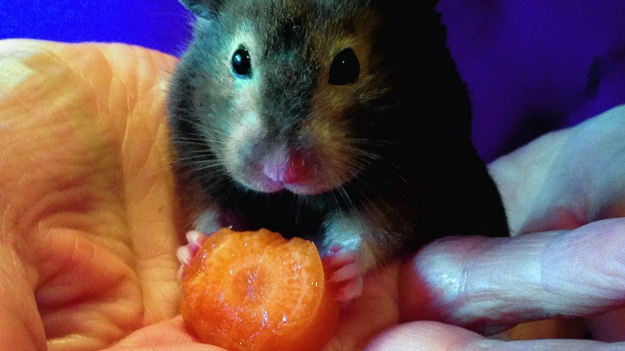 This is Minnie the hamster from Edinburgh, on holiday in Aberdeen visiting Helen Morgan. She is our winner this week.