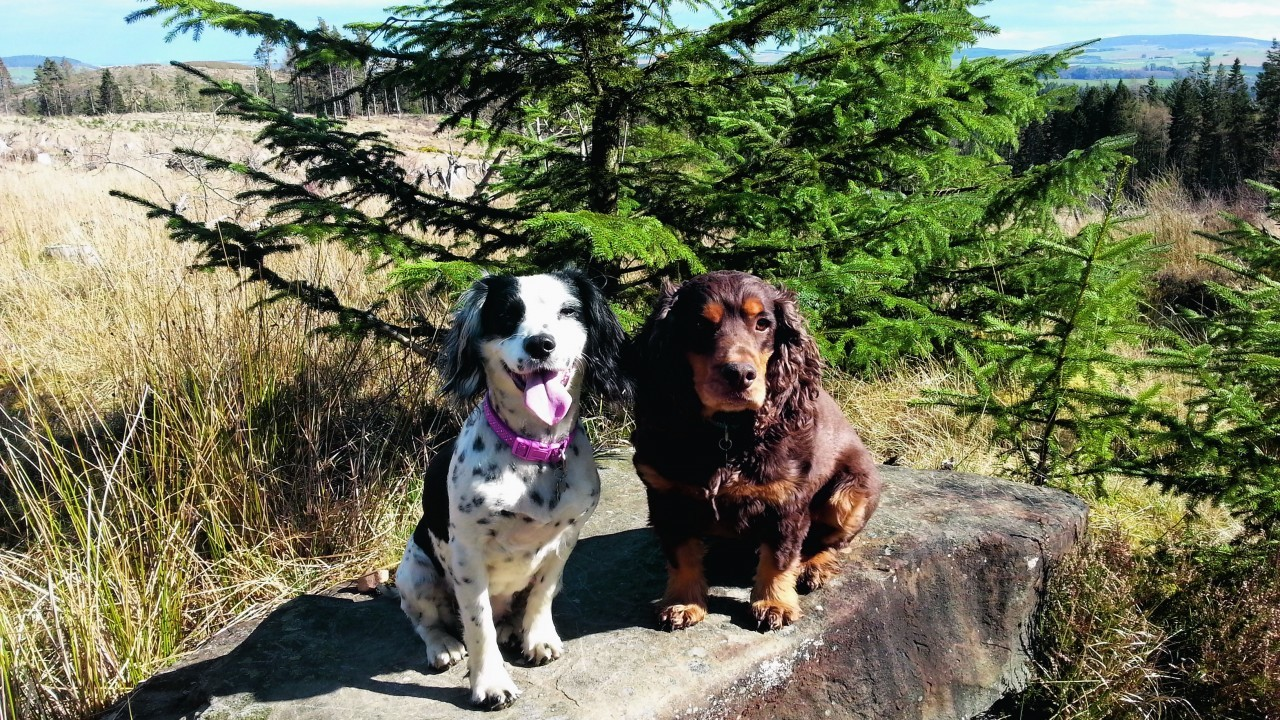 Rossi the cocker spaniel and Heidi the sprocker spaniel  live with Moira and Gary Bruce in Huntly.