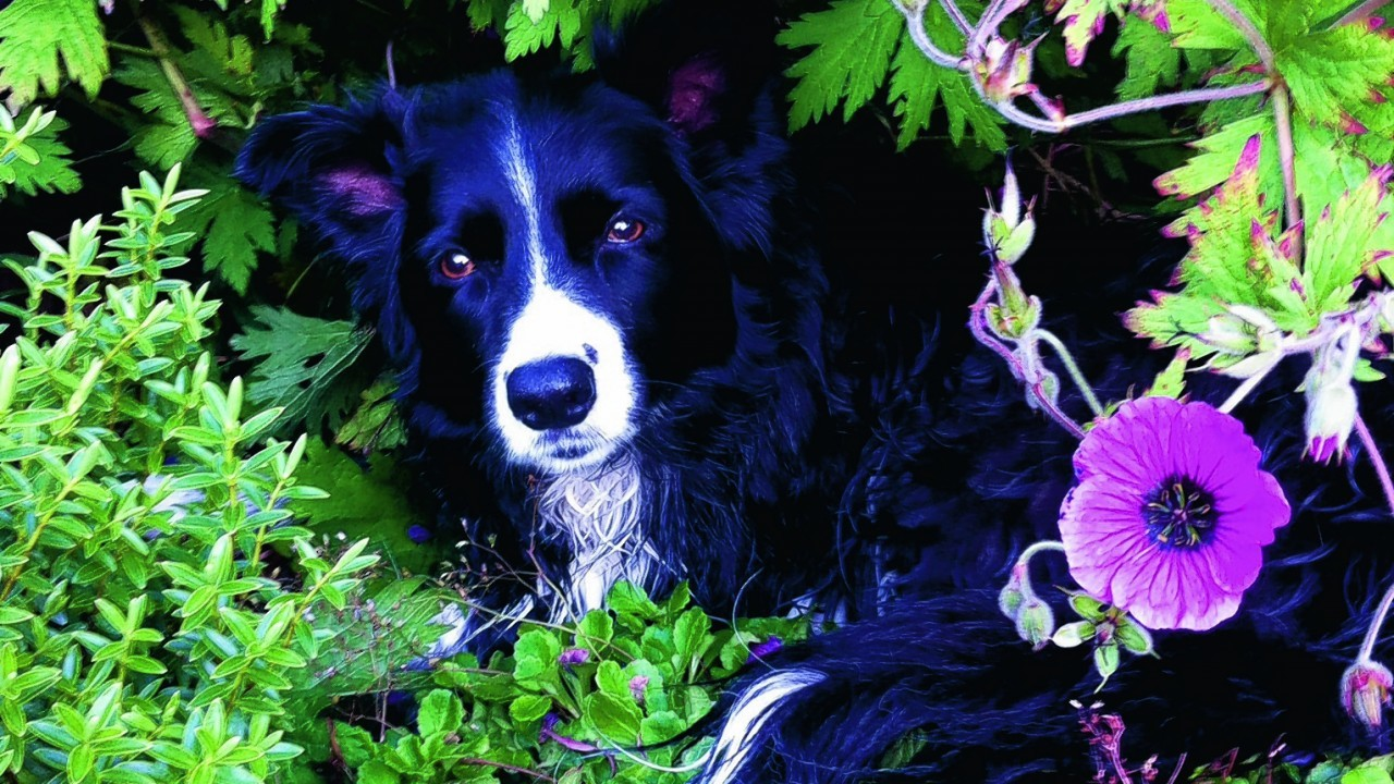 Border collie Tilly aged 12, lives with Lynne Gilbert in Aberlour.