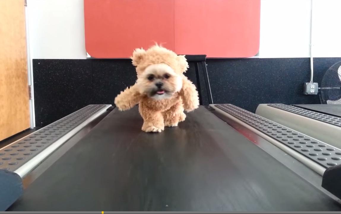 Bear takes on the treadmill