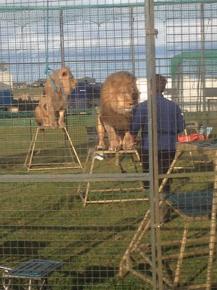 The lions have been living near St Combs. Picture by Jennifer Manson.