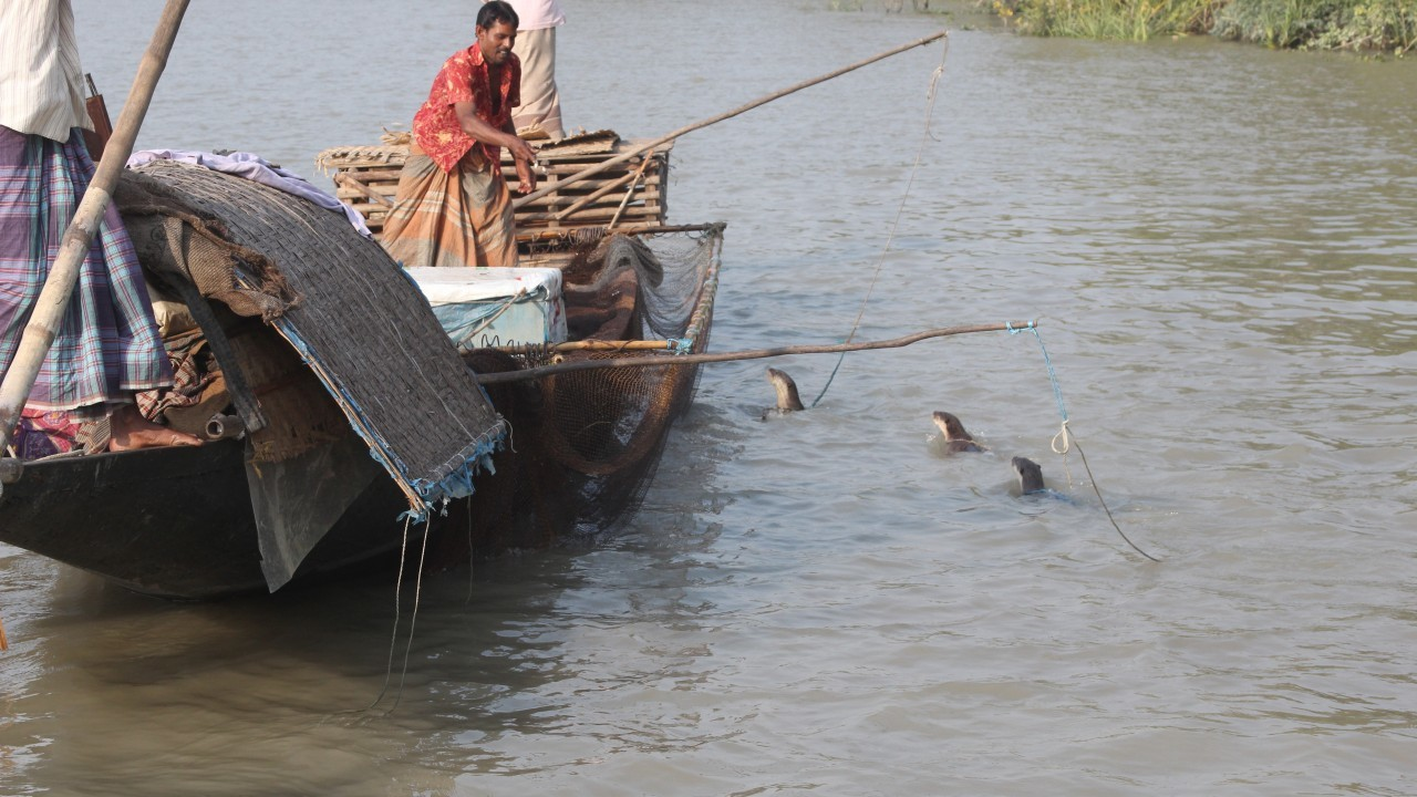 Otters being used for fishing in Bangladesh.