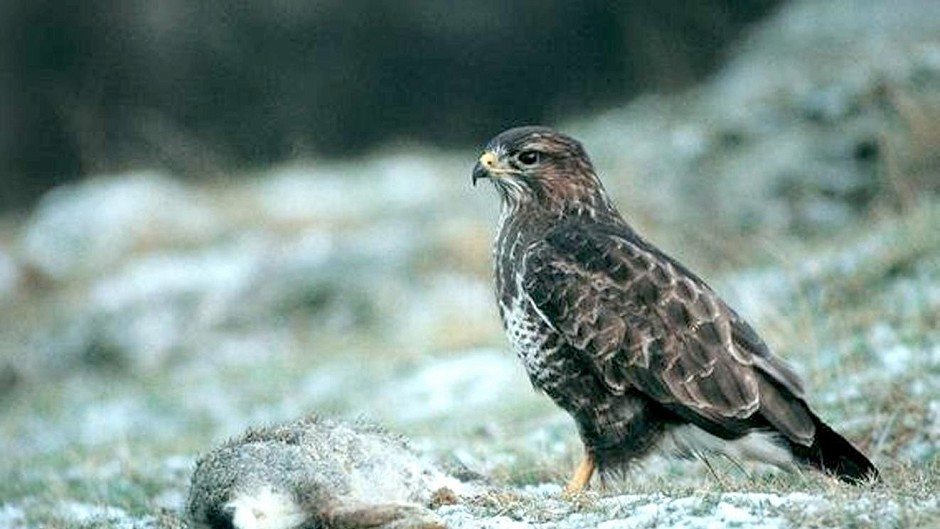 George Mutch is accused of killing three birds, including a buzzard.