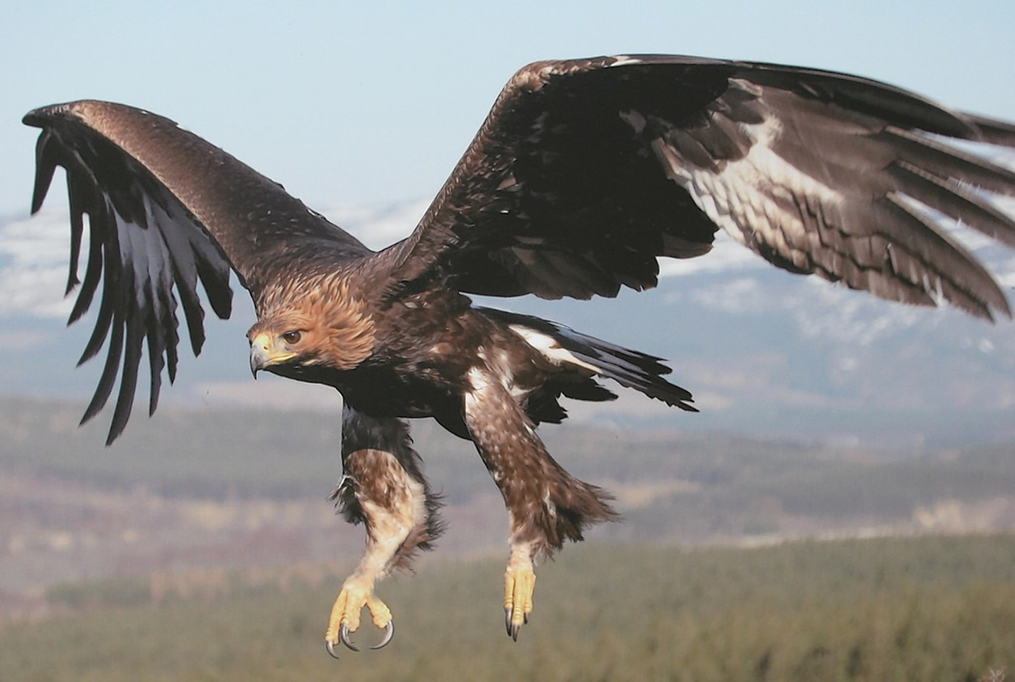 The oldest golden eagle in Britain has been found dead