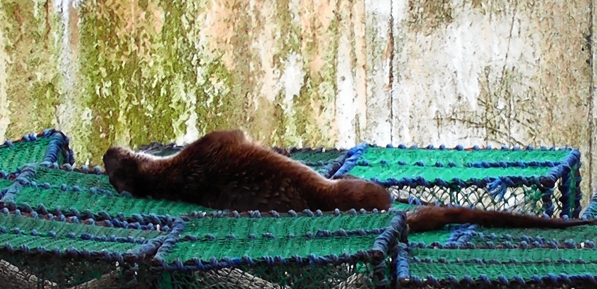 This otter found an innovative use for lobster pots
