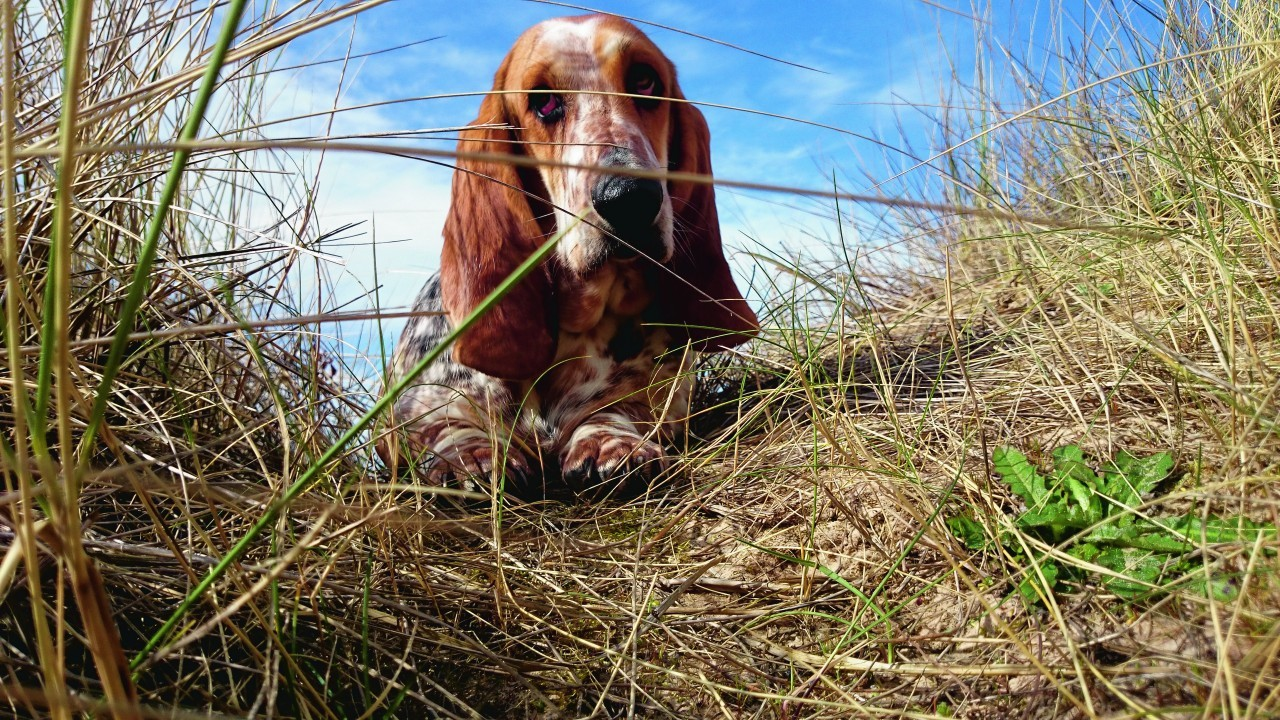 Bella the one year old Basset hound lives in Burghead with Fiona and Jon.