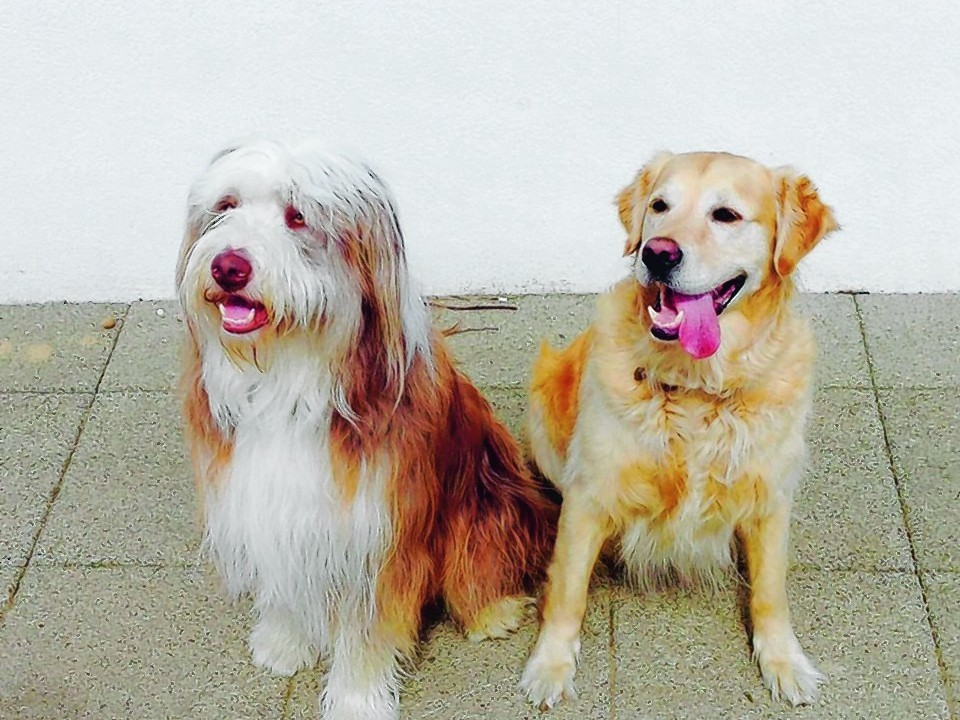 Skye, a two-year-old bearded collie, and Brodie, a six-year-old golden retriever, live in Fraserburgh with the Gillies family.