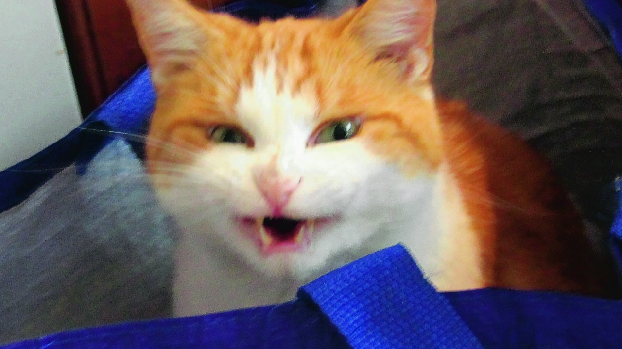 This is Pepsi, a six year old ginger and white tom cat.  This is his 'laughing' face. He lives with the Hendersons in Mosstodloch.