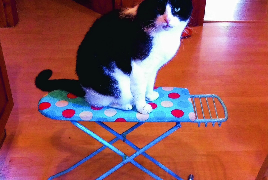 Pringles the cat does some ironing. He lives with Muriel Morrison in Aberdeen.