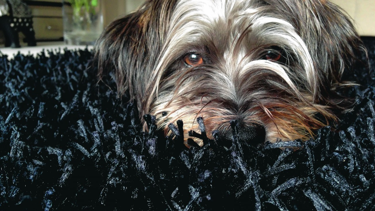 Gus the Lhasa apso/terrier cross lives in Peterhead with Stephanie and John Duthie.