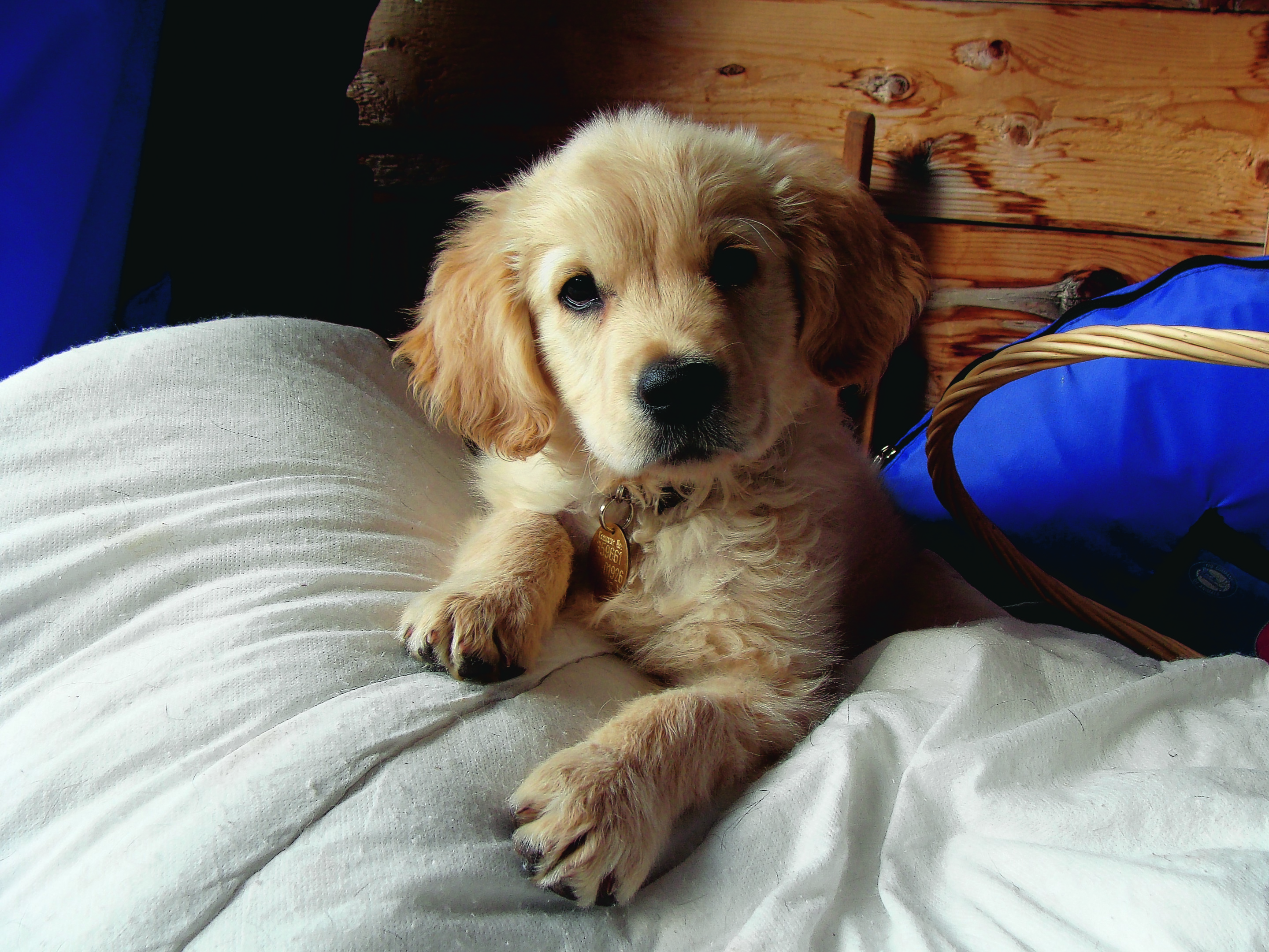 This is Mungo, a golden retriever, as a pup who lives with Sheila Blair in Torphins.