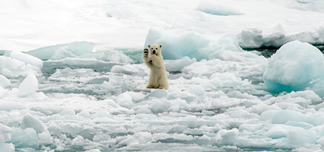 There's a risk we could lose 66%  of the polar bear population within the next 40 years