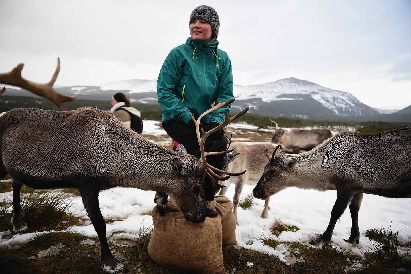 The Cairngorms reindeer