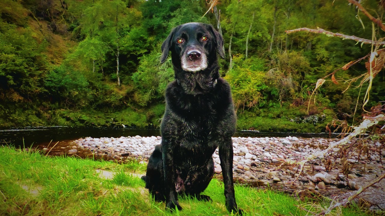 This is Bugsy, he lives with Valerie in Lethen, Nairn. Here he is enjoying a swim in the River Findhorn.