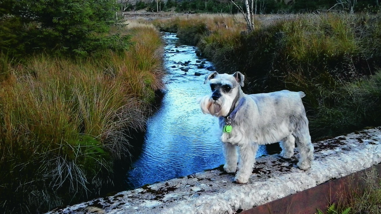Ria the miniature schnauzer lives with June and John Jack, Elchies, Aberlour.