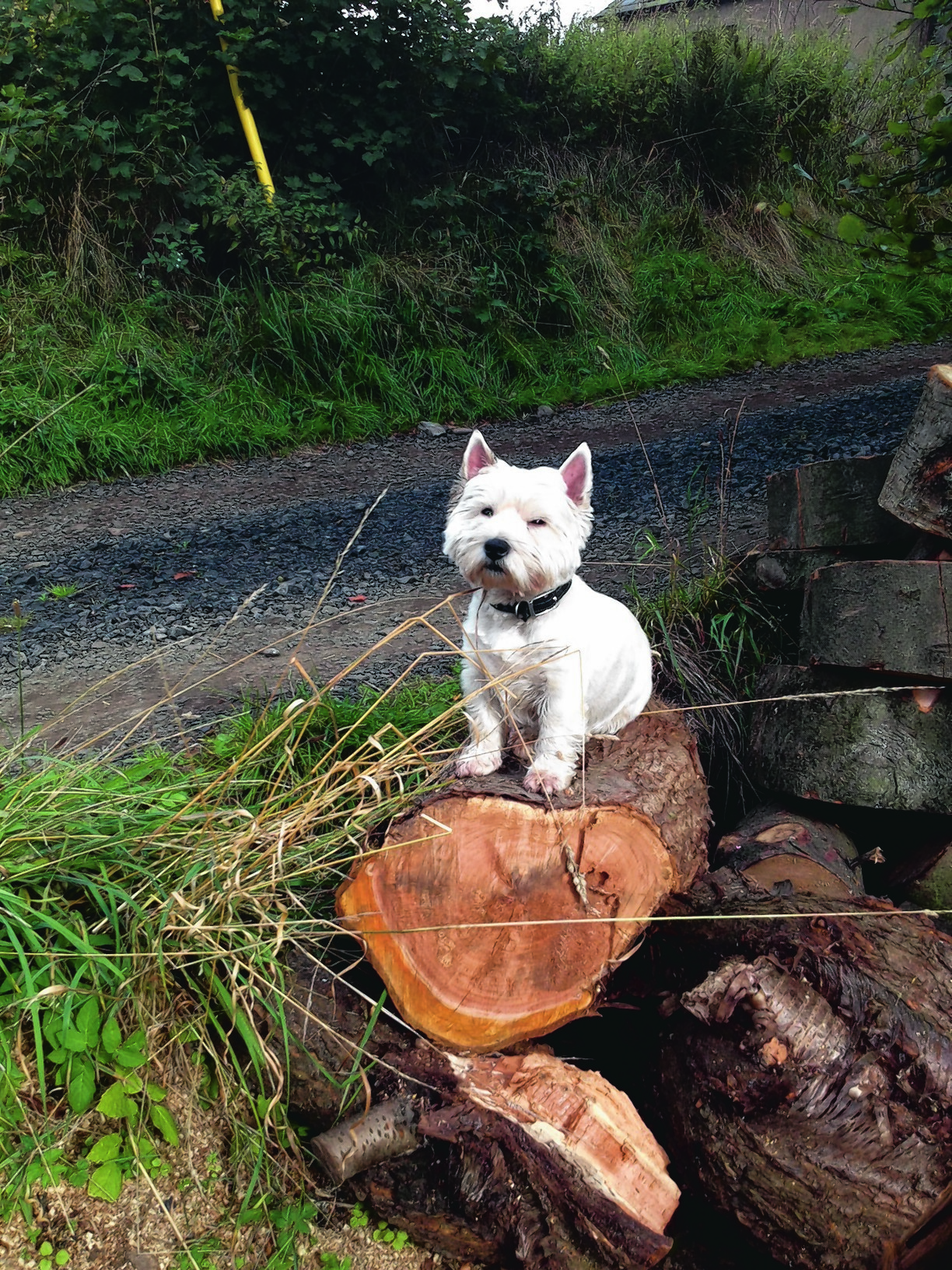 Westie Roary lives with Minto Argo in Knapp, Perthshire.