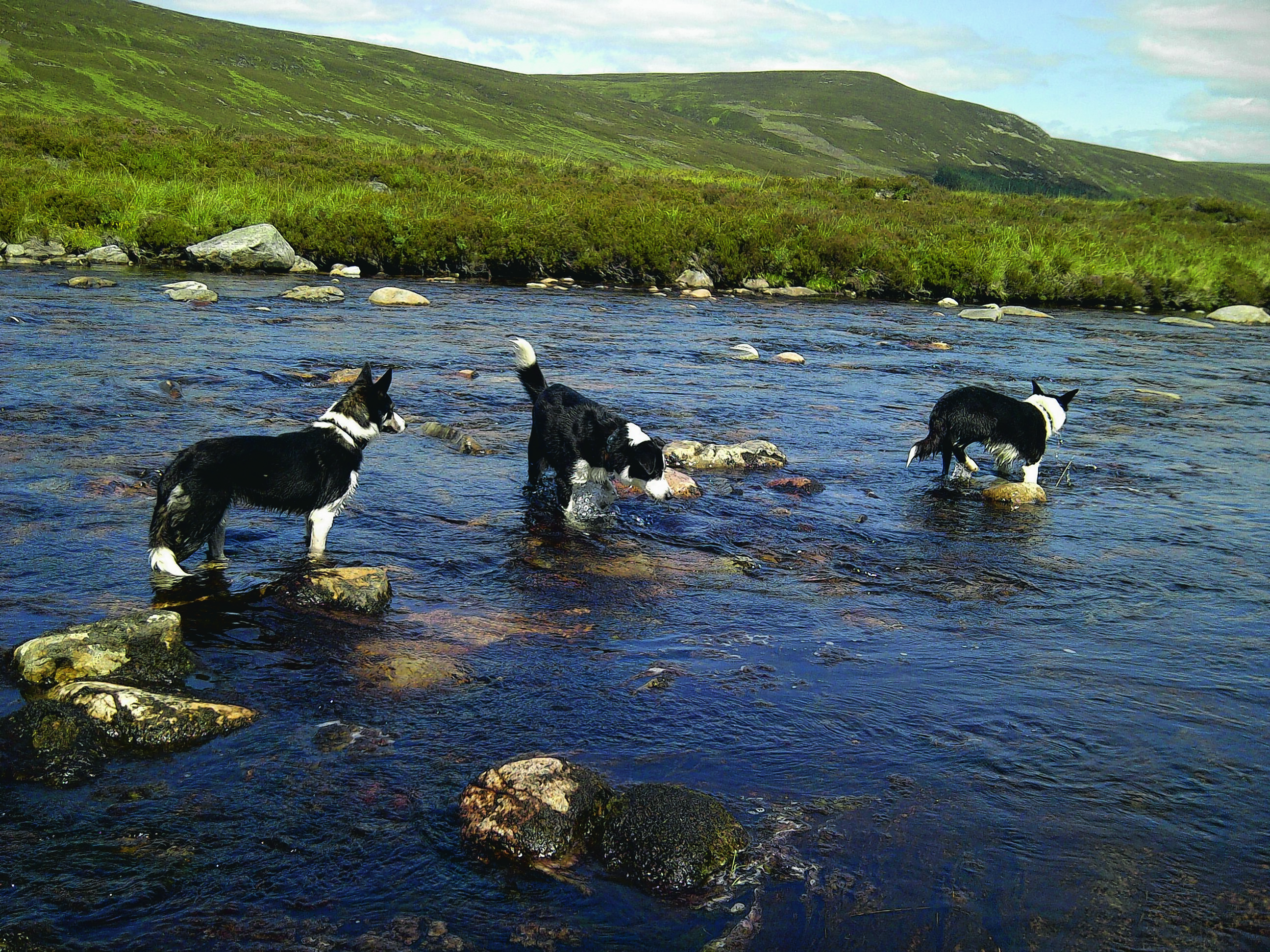From L- R: Spark, Rocket and Jet paddling in the Dee at Braemar. They are owned by Catherine and Douglas Munro of Fortrose, Ross-shire. They are our winners this week.