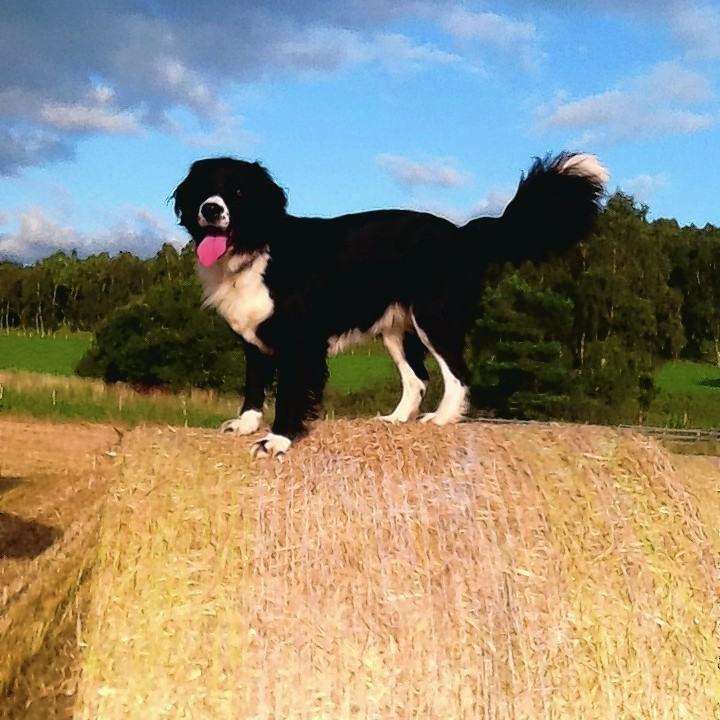 Millie, the springer spaniel/collie cross belongs to Sandy and Sheila Grant of Dulnain Bridge, Grantown on Spey.