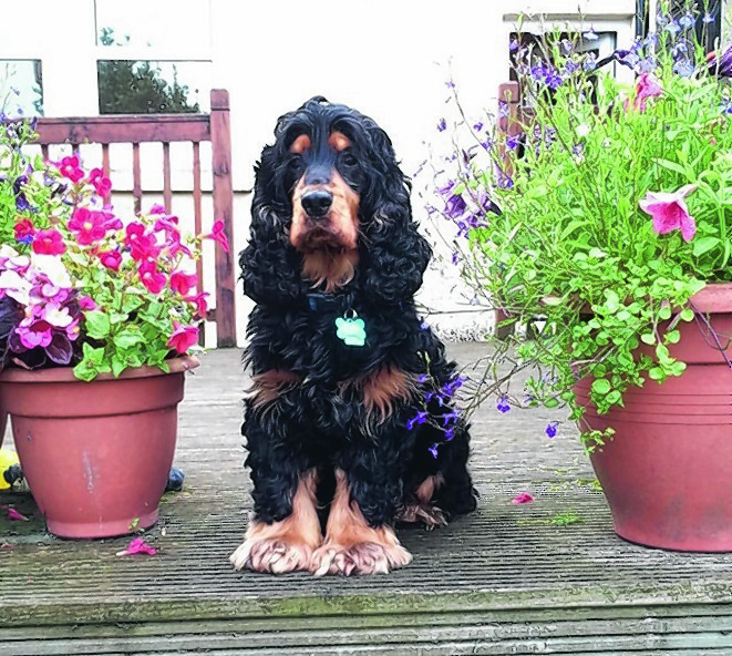 Max the cocker spaniel lives in Keith with the Andrews family.