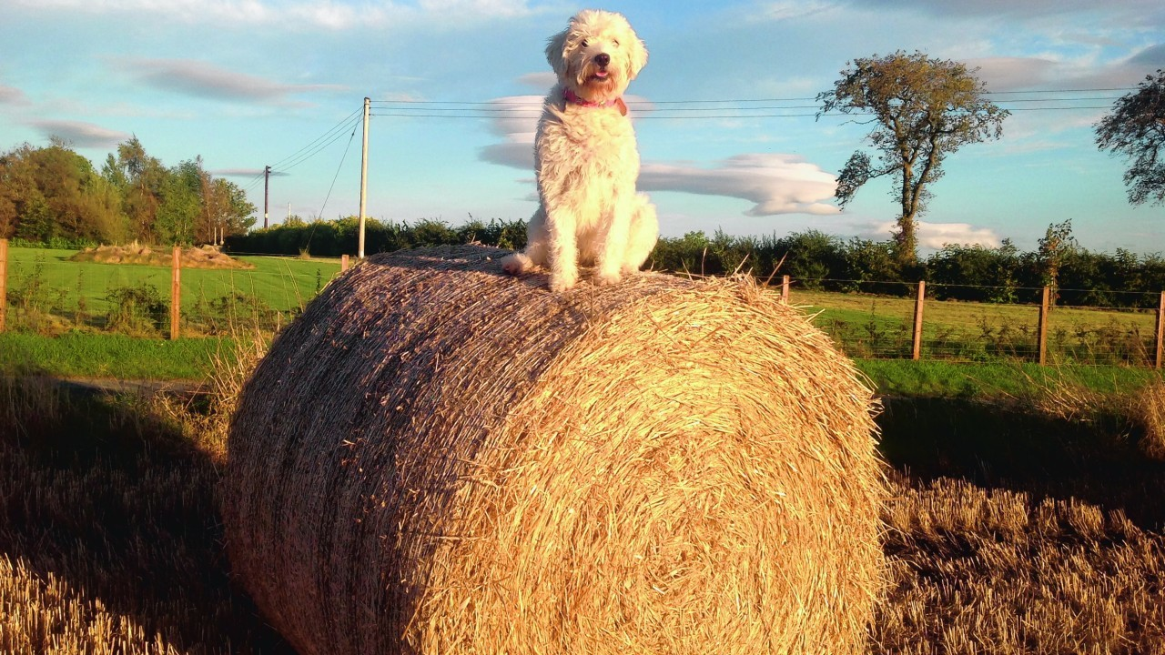 Here is Missy the labradoodle enjoying the straw bales near her home in Marnoch. She lives with Finlay, Naomi and Lexi Thomson.