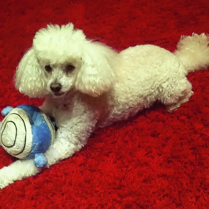 Poppy the poodle who is 11 with her favourite toy Mr Bump lives in Macduff with Lorna and Morrison Ewen.