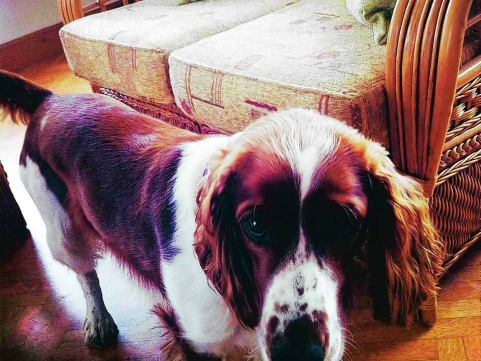 Welsh springer spaniel, Skye, lives with Mairi and Brian Lewis of Coolwinds, Windyridge, Lossiemouth