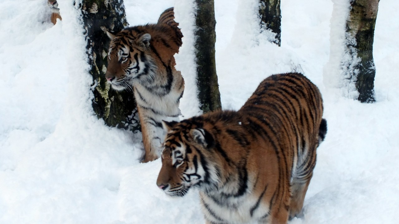 The animals certainly seem to be enjoying the snow at the Highland Wildlife Park