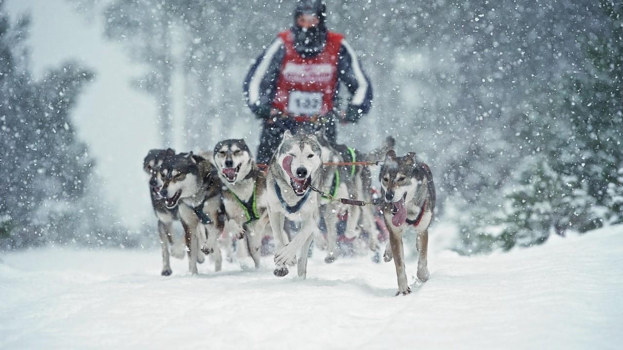Huskies racing in earlier stages of the race