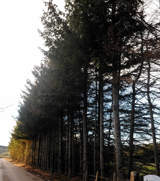 Legal action is being taken over the 65ft-high tree belt