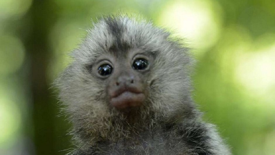 A marmoset monkey, similar to the two taken from a garden in Nairn (Police Scotland/PA)