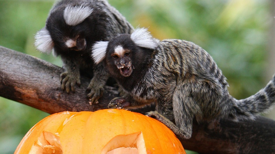 Although the stolen marmosets were bred as domestic pets, they should be considered wild animals