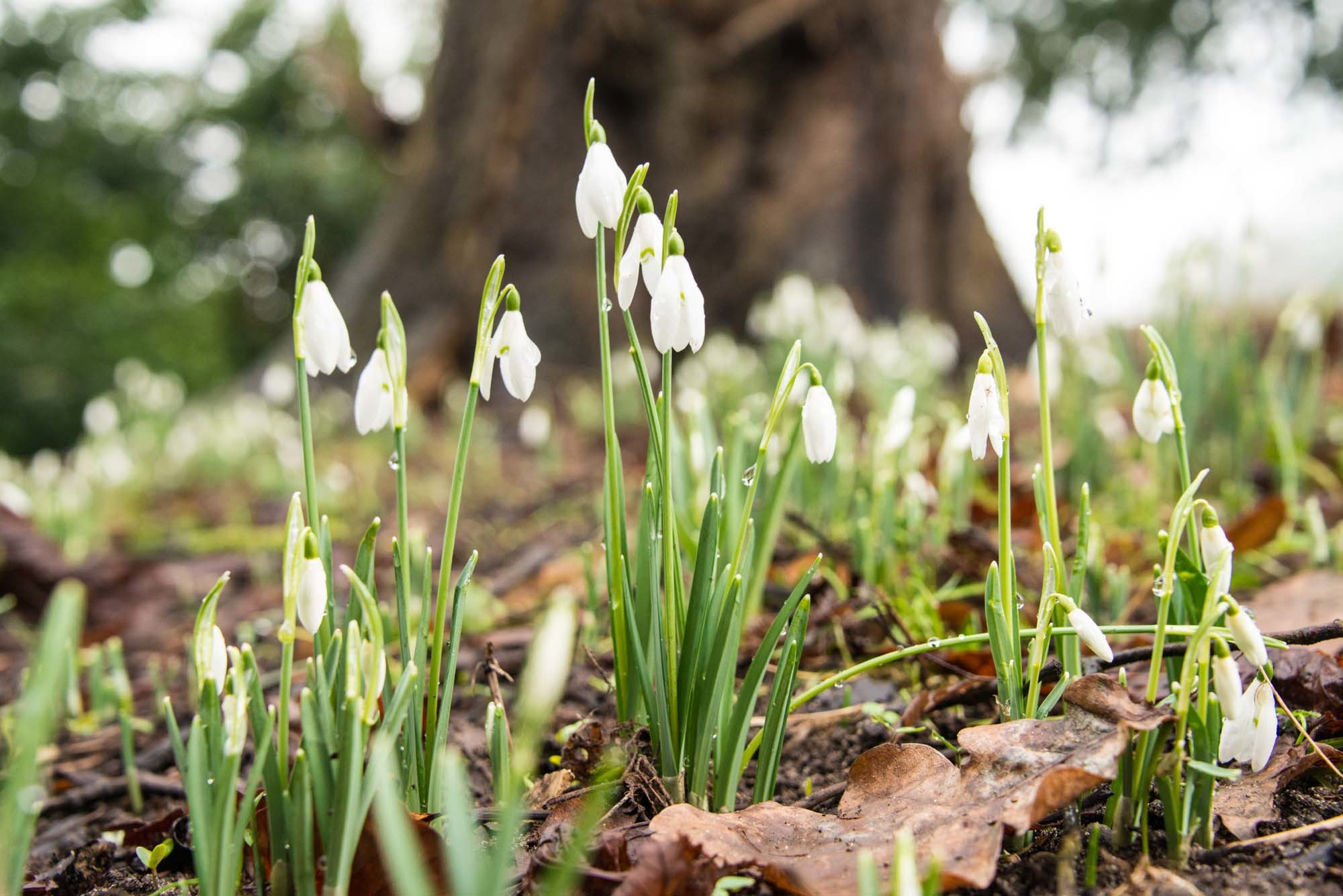 Snowdrops like these will be displayed